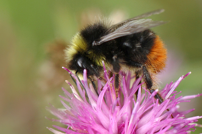 Male Red-tailed Bumblebee