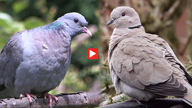 Stock Dove & Collard Dove